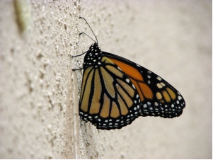 The presence of this monarch butterfly depressed CLC members at their meeting as a symbol of the human capacity to devastate a species and the seemingly impossible challege of saving a fragile thing. (Photo credit Annette Brill Bergstresser.)