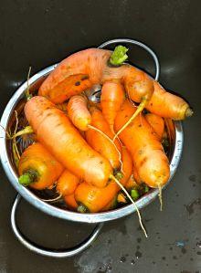 Carrot Harvest 12.7