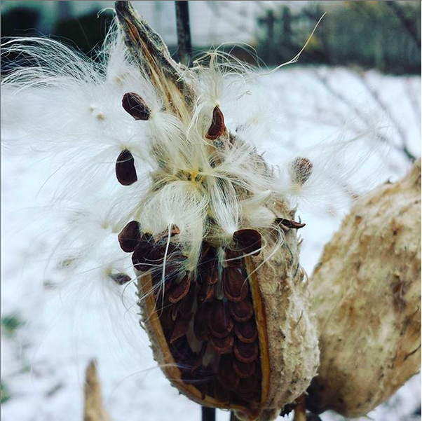 Milkweed Seeds in snow
