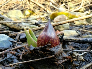 skunk cabbage centered